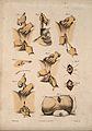 Nine diagrams illustrating cross-sections through the male r Wellcome V0016842ER.jpg