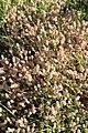 Noordwijk - Hazenpootje (Trifolium arvense).jpg