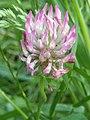 Noordwijk - Trifolium v2.jpg