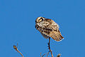 Northern Hawk-Owl (Surnia ulula) (13667923545).jpg