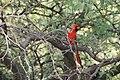 Northern cardinal (13970183900).jpg