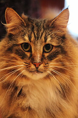 Norwegian Forest Cat face