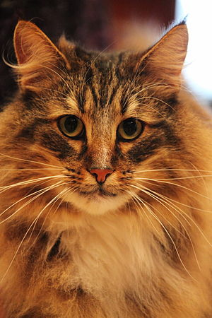Norwegian Forest Cat face.jpg