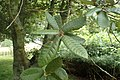 Notholithocarpus densiflorus kz02.jpg