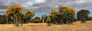 Nuytsia - Image: Nuytsia floribunda WA Christmas Trees by enjosmith