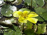 NymphoidesPeltata-flower1