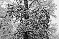 Oak in snow 2017 BW G1.jpg