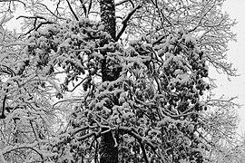 Oak in snow 2017 BW G1.jpg