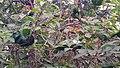 Oecophylla smaragdina nest 04.jpg