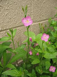 Oenothera rosea1