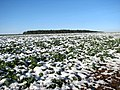 Oilseed rape crop covered with snow - geograph.org.uk - 1630571.jpg