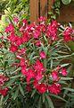 Oleander (Nerium oleander) (9478678124).jpg