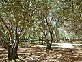 Olive trees.jpg