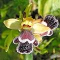 Ophrys fleischmannii-001 - cropped.jpg