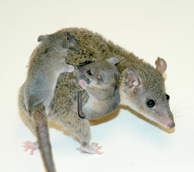 File:Opossum with young.png