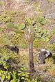 Opuntia echios, Punta Pitt, isla de San Cristóbal, islas Galápagos, Ecuador, 2015-07-24, DD 21.JPG