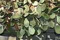 Opuntia humifusa 8zz.jpg