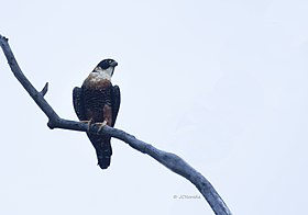 Orange-breasted falcon (Falco deiroleucus) Halcón Pechirrufo.jpg