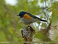 Orange-flanked Bush Robin (Tarsiger cyanurus) (20685241835).jpg