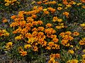 Orange beach flowers.jpg