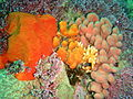 Orange sponge and lobed colonial ascidians at Rheeder's Reef P2277051.JPG