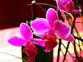 Orchidée papillon (Phalaenopsis) (01).jpg