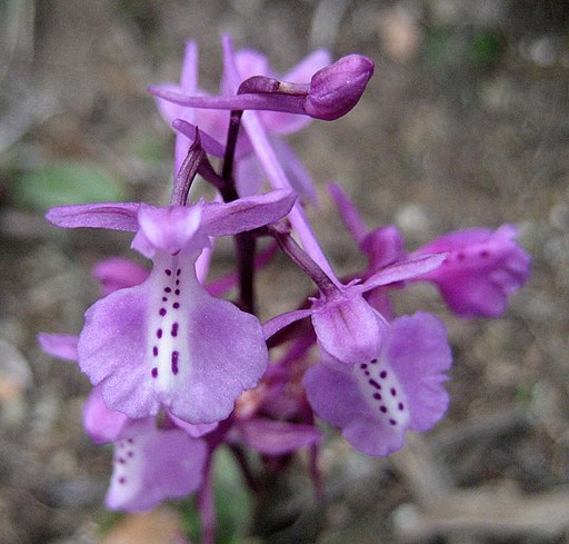 Orchis anatolica - Flickr 003