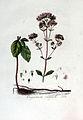 Orignanum vulgare — Flora Batava — Volume v3.jpg
