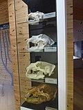 Orsa-rovdjurspark-bear-skull.jpg