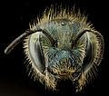 Osmia atriventris, f, head, MD, Beltsville 2014-04-14-16.54.12 ZS PMax (13857447363).jpg
