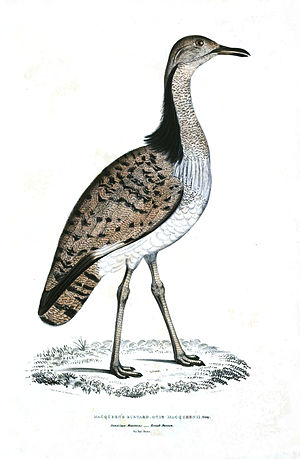 MacQueen's bustard - Lithograph from Illustrations of Indian Zoology (1834)