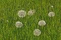 Oyster plant - Tragopogon porrifolius.JPG