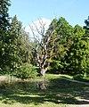 Ozols Zaļās muižas parkā - panoramio.jpg
