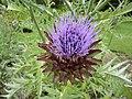 P1000576 Cynara cardunculus (Compositae) Flower.jpg