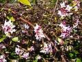 P1130450 Daphne odora aureo-marginata (Thymelaeaceae).JPG