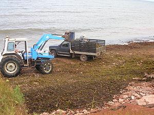 Seaweed farming - Harvesting seaweed in North Cape (Canada)