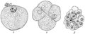 PSM V71 D381 Tarsius spectabile sections of three ova in early stages.png