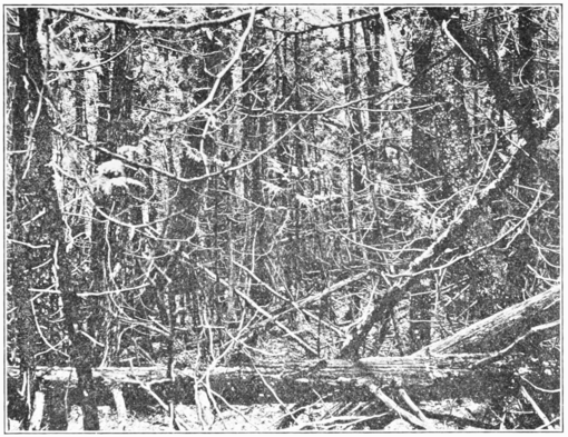 PSM V85 D343 Dense growth of spruce and arbor vitae in a cold swamp.png