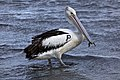 P for Pelican at Shorncliffe-1 (6510256855).jpg