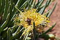 Pachycnema calcarata (Scarabaeidae- Melolonthinae-Rutelinae- Hopliini) on Conicosia elongada (Aizoaceae) (37528840412).jpg