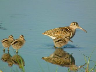 Painted-snipe - R. benghalensis with chicks