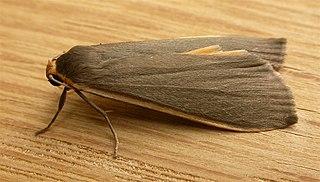<i>Palaeosia</i> genus of insects