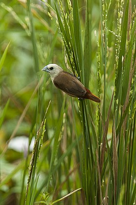 Pale-headed Munia - Sulawesi MG 5795 (22595325609).jpg