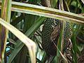 Pandanus furcatus (5660645931).jpg