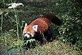 Pandas roux (Zoo Amiens)1.JPG