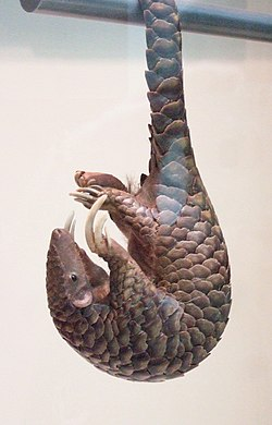 Pangolin's tail.jpg