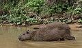 Pantanal capybara JF5.jpg