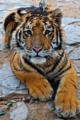 Panthera tigris -Castellar Zoo -six month old-8a.png