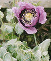 Papaver somniferum (2943650739).jpg