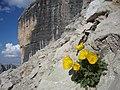 Papavero alpino retico - panoramio.jpg